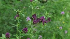Luzerne - alfalfa - medicago sativa - lucerne flowering close up  H710003 031519 Stock Footage