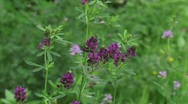 Stock Video Footage of luzerne - alfalfa - medicago sativa - lucerne flowering close up  H710003 031519