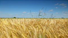 Wheat corn field - stock footage