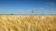 Stock Video Footage of Wheat corn field