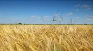 Wheat corn field Stock Footage
