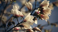 Stock Video Footage of Magnolia Blossoms