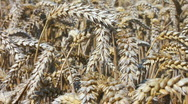 Close up of ears of wheat Stock Footage
