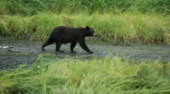 Bear walking along river Alaska P HD 8680 Stock Footage