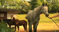 Slow motion - Horse Walking Behind A Lady Stock Footage