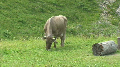 cow eats - stock footage