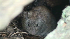 P01108 Red-backed Vole Stock Footage