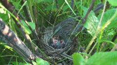 P01109 Sparrow at Nest Feeding Chicks Stock Footage