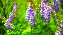 bluebellTreeFlowers - stock footage