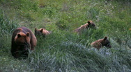 Grizzley Bear and three cubs Alaska P HD 7492 Stock Footage