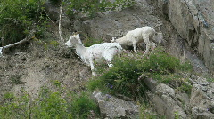 Dall Sheep mother baby on cliff P HD 1556 Stock Footage