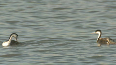 P01118 Western Grebe Family Stock Footage