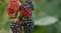 HD1080p25 Ripe, ripening and unripe blackberries on a bush Footage