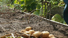 Digging Potatoes With A Garden Fork  Stock Footage