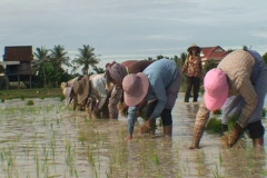 CAMBODIA-RICE PLANTING 3 Stock Footage