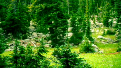 T204 rocky mountain pines pinetrees trees Stock Footage