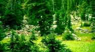 Stock Video Footage of t204 rocky mountain pines pinetrees trees