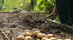 Man Digging Potatoes From His Garden Fresh Produce Stock Footage
