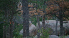 T204 trees infected pine beetle blight disease Stock Footage