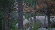 Stock Video Footage of t204 trees infected pine beetle blight disease