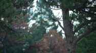 Stock Video Footage of t204 trees infection pine beetle blight disease