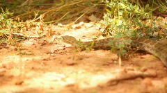 t204 wild rattlesnake rattle rattler snake colorado desert - stock footage