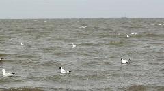 Black headed gulls Stock Footage