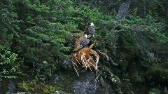 Bald eagles high on mountain tree P HD 7424 Stock Footage