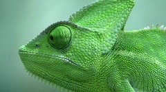 Veiled Chameleon - stock footage