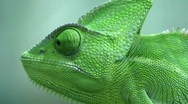 Stock Video Footage of Veiled Chameleon