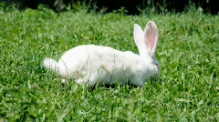 Hare eating fresh grass on a lawn on a Summer day Stock Footage