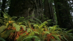 Ferns and Redwoods, Dolly-Big Web Stock Footage