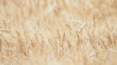 Close Up Of Wheat Growing In A Farm Field Field Cash Crop Stock Footage