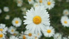 Daisy flower close beautiful P HD 8428 Stock Footage