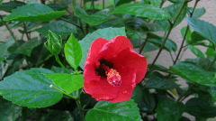 explosive hibiscus flower - stock footage