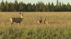 P01143 Mule Deer Doe and Twin Fawns Stock Footage