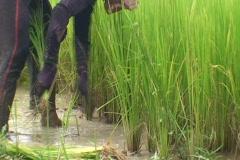 CAMBODIA-RICE PLANTS-NURSERY 1 Stock Footage
