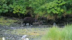Bear hunting in salmon river P HD 7566 Stock Footage