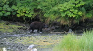 Bear hunting in salmon river P HD 7566 Stock Footage