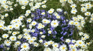Blue Bell and Daisey flowers in Alaska P HD 8426 Stock Footage