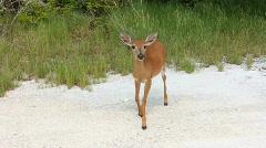 Endangered Florida Key Deer Stock Footage
