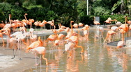 Stock Video Footage of Group of flamingo birds feeding at noon