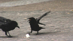 Crow steals other's bread crumb - stock footage