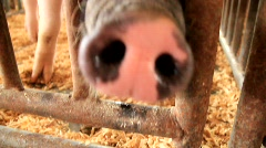 Greedy Pig Snout (HD) c - stock footage