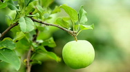 Stock Video Footage of Green apples.Close up