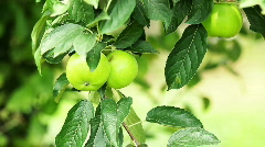 Green apples.Close up Stock Footage