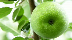 Wet apple on a branch.Close up. - stock footage
