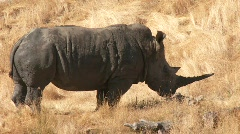 Stock Video Footage of Rhino standing