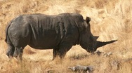 Stock Video Footage of Rhino standing