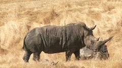 Rhinoceros walking in slow motion Stock Footage